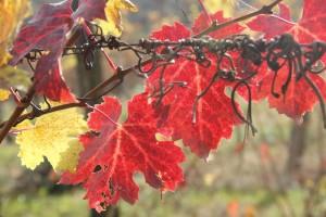 Couleurs de vigne
